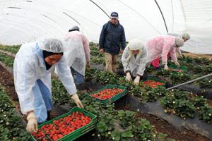 Travail saisonnier en Espagne : Quand la fraise devient un cauchemar pour les ouvrières marocaines