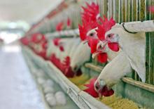 Grippe aviaire : le dispositif du Maroc