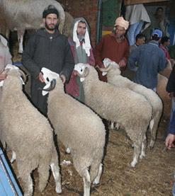 Le mouton gratuit de Taslif arrive
