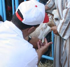 Un vaccin contre la clavelée consacré
