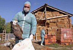 La grippe aviaire, un drame mondial