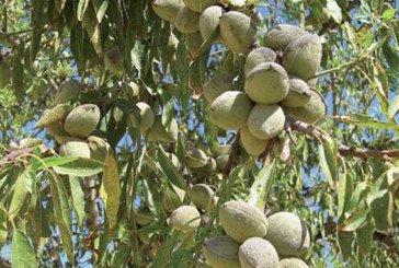 Tiznit : 200 ha d'amandiers bientôt lancés