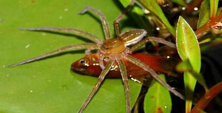Brian: l'araignée qui aime la natation et la chasse au poisson