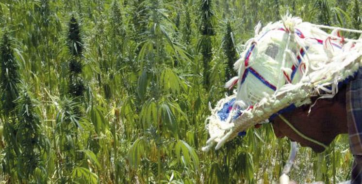Le cannabis marocain de plus en plus dangereux