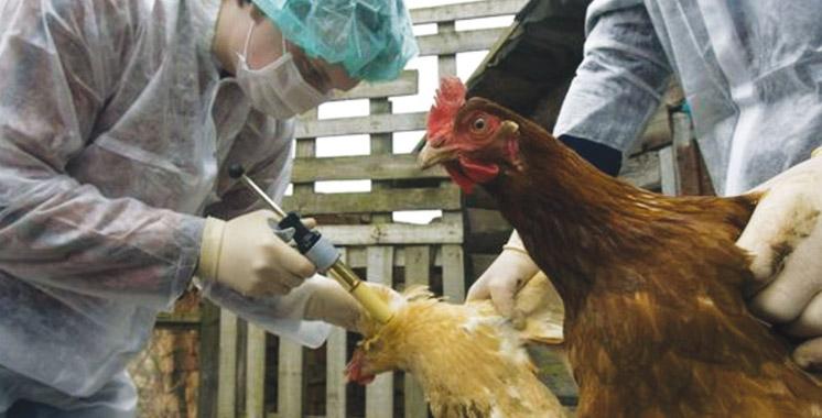 Filière avicole : La crise de l'influenza aviaire H9N2 est derrière nous !