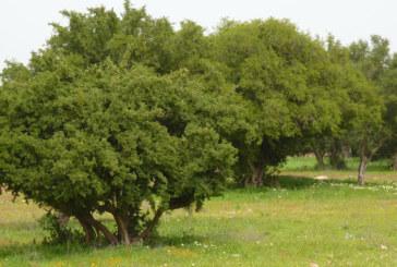 Guelmim : Un million de dirhams pour la plantation de 75 ha d'arganier