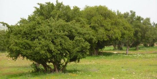 Plus de 48 millions de DH pour l'arganier et les plantes aromatiques et médicinales
