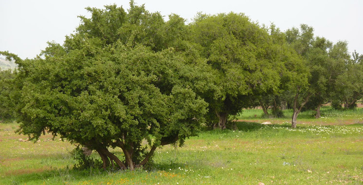 Guelmim : Un million de dirhams pour la plantation de 75 ha d'arganier
