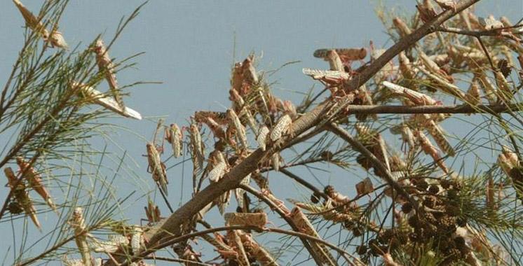 Attention Criquet pèlerin! La FAO appelle le Maroc à la vigilance