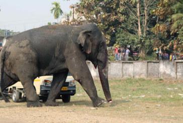 Inde: au moins une personne tuée chaque jour par un éléphant ou un tigre