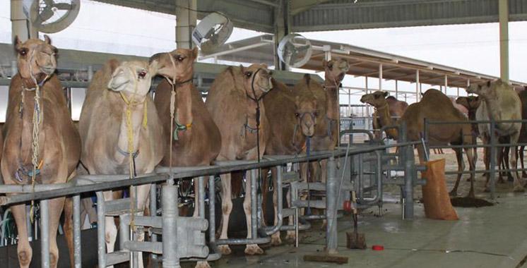 Filière cameline : Lancement de la 2è édition de la caravane agricole Phosboucraa