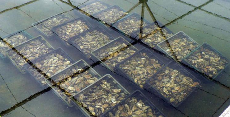 Coquillages de la zone Tamri-Cap Ghir : Fini  l'interdiction