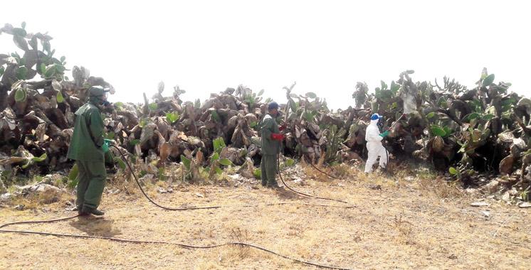 Programme de lutte contre la cochenille du cactus: Plus de 13 kilomètres arrachés à Sidi Bennour