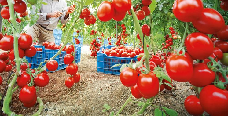 Tomate marocaine: Les professionnels demandent l'intervention du gouvernement face au lobby espagnol