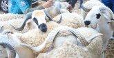Aïd Al Adha : 3,7 millions d'ovins et de caprins  identifiés par l'ONSSA
