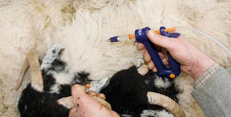 Aid-Al-Adha-Mouton-Vaccin