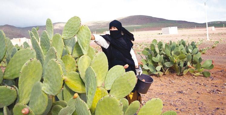 Troisième édition du «Moussem Ankari» à Sidi Ifni: La culture du cactus attire toutes les attentions