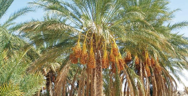 Phoeniciculture : L'offre est abondante à Drâa-Tafilalet