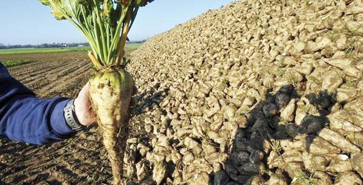 Betterave à sucre : Une production de 1,58 million de tonnes dans le périmètre des Doukkala