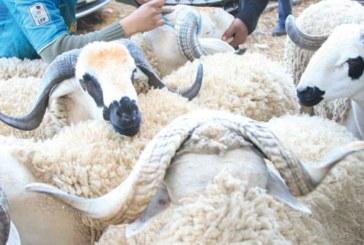 identification du cheptel : Près de 740.000 ovins «bouclés» à Casablanca-Settat