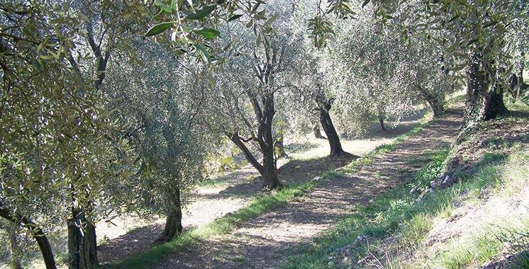 L'olivier marocain toujours indemne