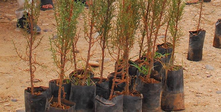 Lutte contre l'ensablement : 4.000 arbres seront plantés  à Tarfaya