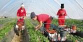 Récolte des fraises : Plus de 19.000 saisonnières marocaines  se rendront à Huelva