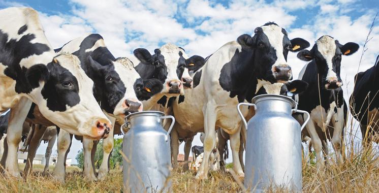 Maroc-Allemagne : L'amélioration de la productivité bovine en perspective