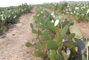Cactus : Plantation de 600 hectares à Taourirt
