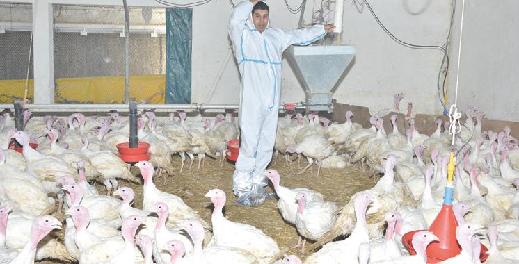 APV : Le statut immunitaire des volailles marocaines est devenu efficace