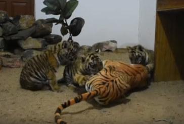 Inde: une maman tigre en plastique pour sauver trois félins orphelins (Vidéo)