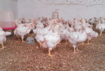 APV : Le prix du poulet dans les fermes entre 8 et 10 DH/kg