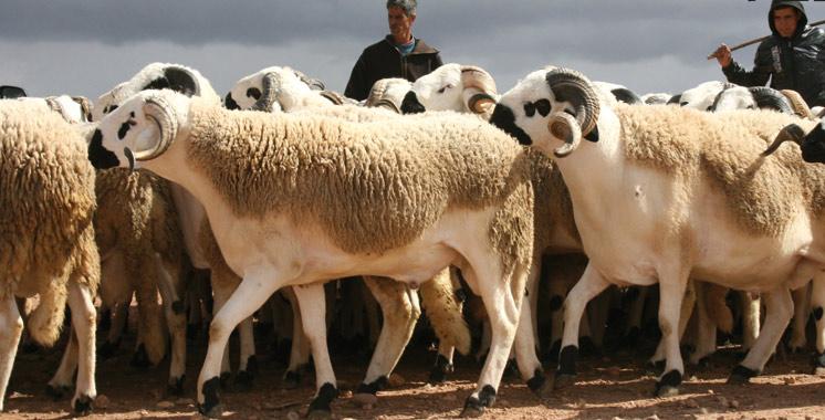 Aïd Al Adha : 9 millions de têtes disponibles sur le marché