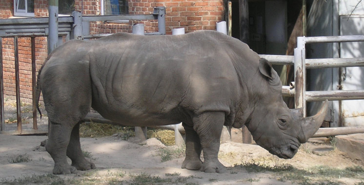 France : Des braconniers tuent un rhinocéros blanc dans un zoo pour ses cornes