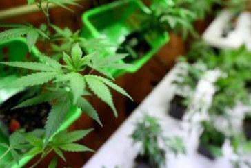 L'Argentine légalise l'usage médicinal du cannabis