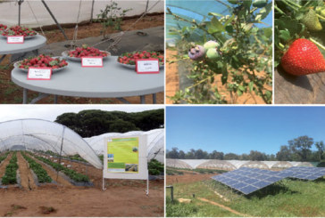Petits fruits rouges : L'Inra de Tanger accompagne le développement de la filière