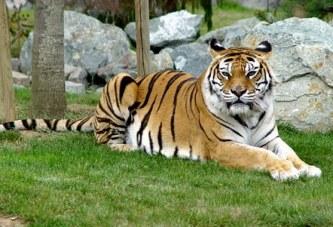 GB : Une gardienne de zoo tuée par un tigre en Angleterre