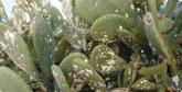 L'ONSSA rassure : Seul 1% de la superficie totale de la culture  du cactus à Guelmim est touché par la cochenille