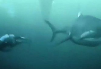 Vidéo : Phelps battu, sur 100 mètres, par un grand requin blanc