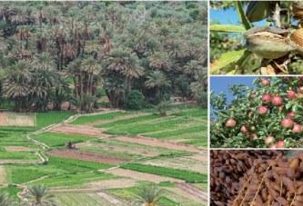 Amandier, dattier, pommier, rosier, figuier… les filières en marche à Ouarzazate