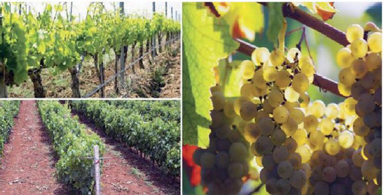 Viticulture : 80.000 tonnes prévues  à Casablanca-Settat