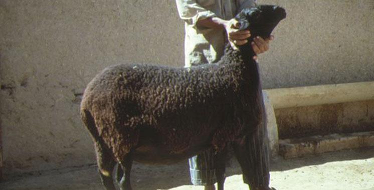Mohammedia : Mort pour une brebis
