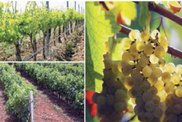 Viticulture dans l'Oriental : Un chiffre d'affaires annuel de 250 millions DH