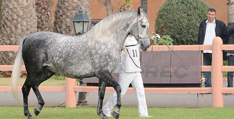Elevage des chevaux : Le 1er Meeting national du Barbe et Arabe-Barbe à El Jadida