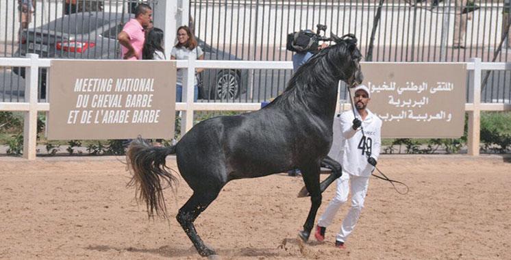La Sorec veut valoriser le barbe, cheval qui fait partie du patrimoine marocain