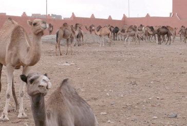 Smara : Lancement d'une campagne de vaccination cameline