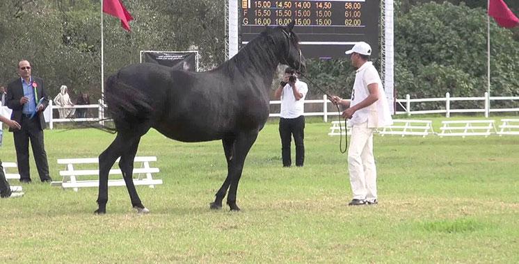 2è concours interrégional des chevaux barbe et arabe-barbe: Quelque 180 éleveurs présents à Meknès