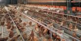 Le Ghana souhaite profiter de l'expérience marocaine dans le secteur avicole