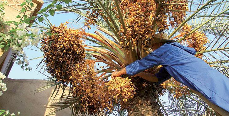 Contrat programme palmier-dattier : Des taux d'exécution atteignant parfois les 170%