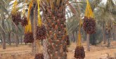 Un projet de palmier dattier à Marrakech reçoit un certificat de qualité  international